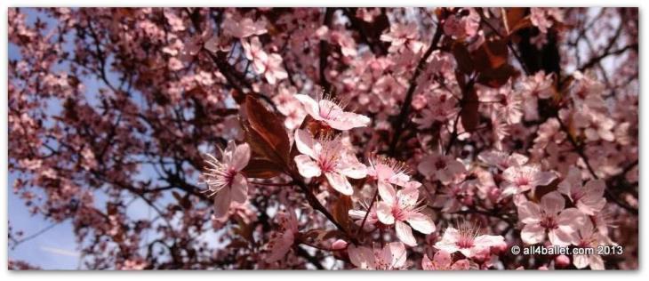 Flowering_prunus